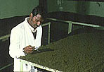 Tea factory - tea processing