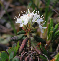 Labrador Tea - a tea substitute in America at the time of the Boston Tea Party