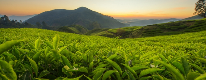 Tea growing and production