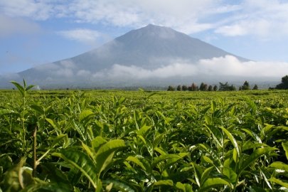 Tea plantation with a mountain in the background