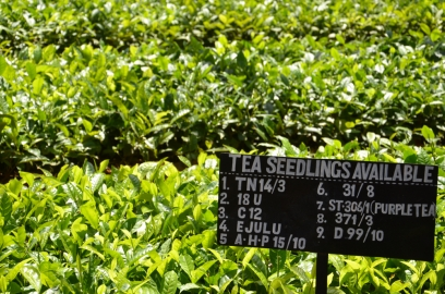 Tea plantation seedlings for sale sign